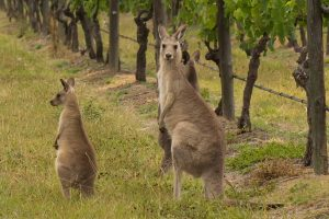 attitude-img-new-kangaroo