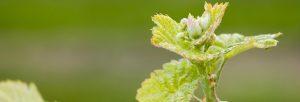 Budburst in the Vineyard