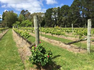 10-23 Vineyard at Mittagong Monastery (01)